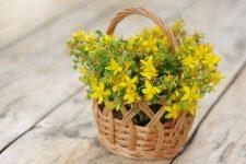 Třezalka tečkovaná – zázračná bylina
